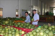 槟椥省为绿皮柚子打造生产价值链
