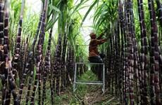 政府总理要求为越南甘蔗制糖业化解困难