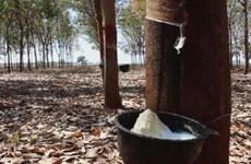 马来西亚天然橡胶产量快速增长
