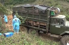 山萝省发现并销毁大量从老挝非法运输到越南的生猪