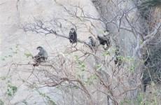 大量珍贵叶猴在宁顺省海岸森林出现