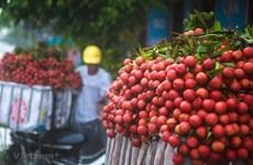 越南积极为首批新鲜荔枝出口到日本市场做出准备