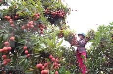 北江省预计5月底将向日本出口首批鲜荔枝