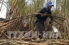 严重旱情对泰国制糖业产生影响