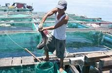 李山岛军曹鱼养殖模式    经济效益良好