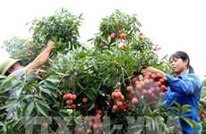 越南力争完善所需手续 尽早对日本出口新鲜荔枝