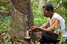 2020年4月柬埔寨天然橡胶出口量环比增长近60%