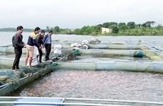 网箱养鱼模式帮助奠边省居民提高收入