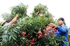 6月3日本专家赴越南对出口到日本的荔枝进行检查