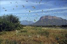 越南制定各种方案   应对沙漠蝗虫入侵