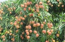 越南早熟荔枝即将到达澳大利亚港
