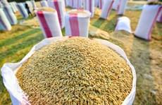 2020年初至今柬埔寨对越南出口的稻谷量达近100万吨