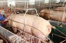 越南尽早杜绝将生猪和猪产品走私到越南的行为