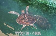 广治省努力保护珍稀海龟