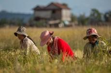 2020年柬埔寨大米出口量预计达80万吨