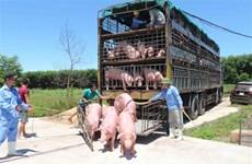 越南从泰国进口的首批500头生猪抵达乂安省