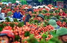 越南实现向日本出口新鲜荔枝的目标