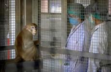 泰国新冠病毒疫苗猴体实验已注射第2针预计10月进行人体实验
