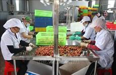 海阳省向日本出口第一批新鲜荔枝