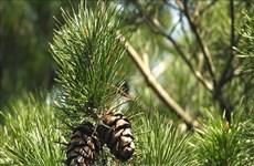 清化省浦良自然保护区成功保护珍贵稀有的华南五针松和红豆杉