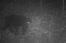 清化省发现14只亚洲黑熊和69只长颌带狸等稀有动物