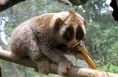 清化省春莲自然保护区努力保护珍稀蜂猴物种