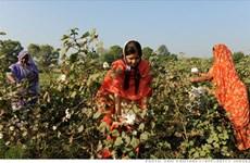 印度努力加大棉花对越南出口力度