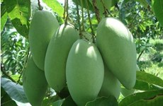 越南未成熟芒果在澳大利亚市场上越来越受欢迎