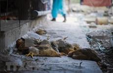 得乐省邦美蜀市公布禽流感疫情