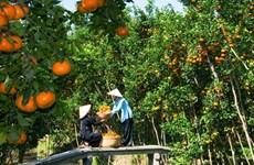 九龙江三角洲地区将果树种植面积扩大15万公顷