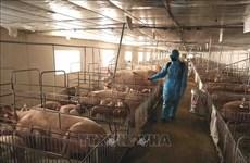 越南需要近2290亿越盾开展非洲猪瘟疫情防控工作