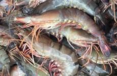 韩国加大进口越南草虾力度
