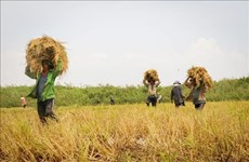 越南大米和咖啡价格保持增长势头