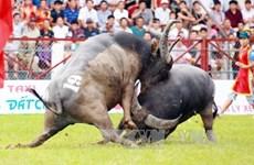 海防市暂停举办2020年涂山斗牛大赛