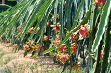 隆安省力争将达到越南良好农业规范标准认证的火龙果种植面积扩大至3000公顷