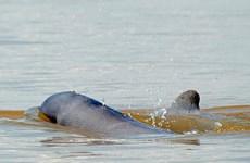 柬埔寨的4个伊洛瓦底江海豚保护区申请列入世界文化遗产