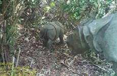 印尼发现两只稀有的爪哇犀牛