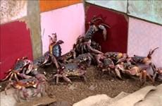 李山岛努力保护与可持续开发石蟹