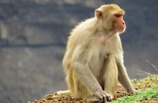 越南开始在猴子身上试验新冠肺炎疫苗