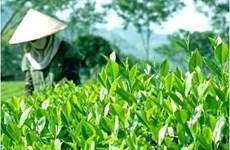 到2025年越南全国满足安全标准的茶叶种植面积达到55%