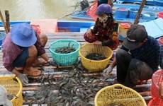 茶荣省虾类养殖产量超出全年计划