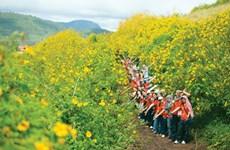 河内市巴维县打造肿柄菊花海品牌 助推首都旅游业发展