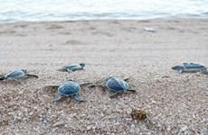 宁顺省把800多只稀有海龟放回大海