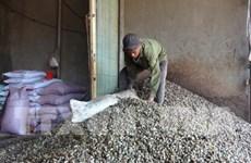 荷兰对平福省腰果行业投资2.5亿美元