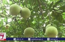 颗颗柚子让宣光省安山县居民走上致富路