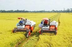 九龙江平原大米逐步肯定了越南大米品牌在市场上的地位