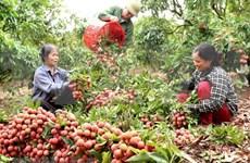 越南全国果树种植面积达110万公顷
