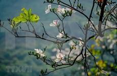 越南西北地区羊蹄甲花绽放迎春