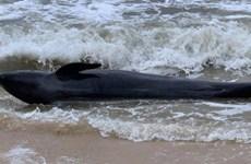 富安省:重达300公斤的鲸鱼冲上绥和海岸