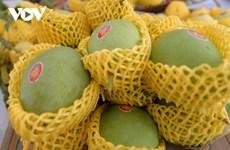 出口芒果种植流程符合全球质量标准